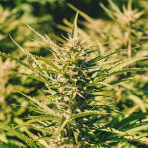 Hemp Farm Cannabis Bloom
