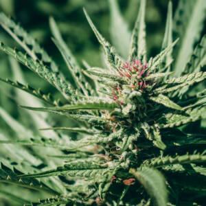 Natural Organic Hemp Farm Cannabis Bloom