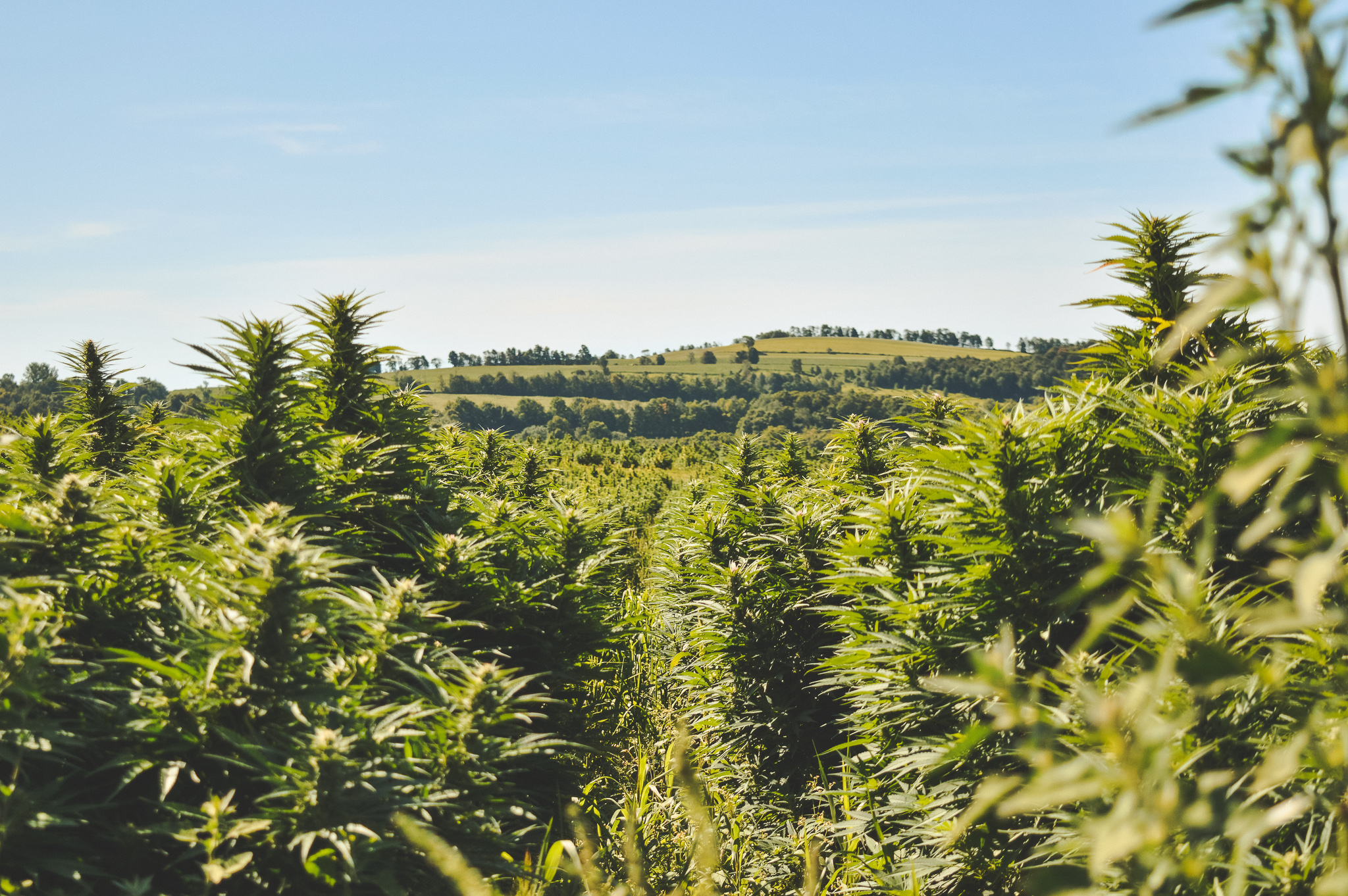 Hemp Farm Cannabis Bloom